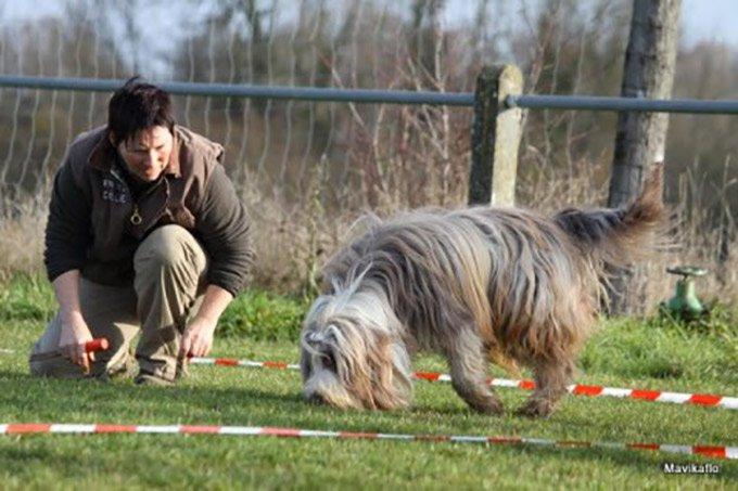 chien truffier en plein concours de cavage
