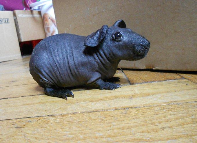Rencontre avec Eden, un Cochon d'Indes tout nu !