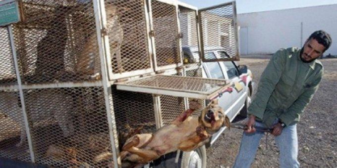 Sauvons les chiens marocains !