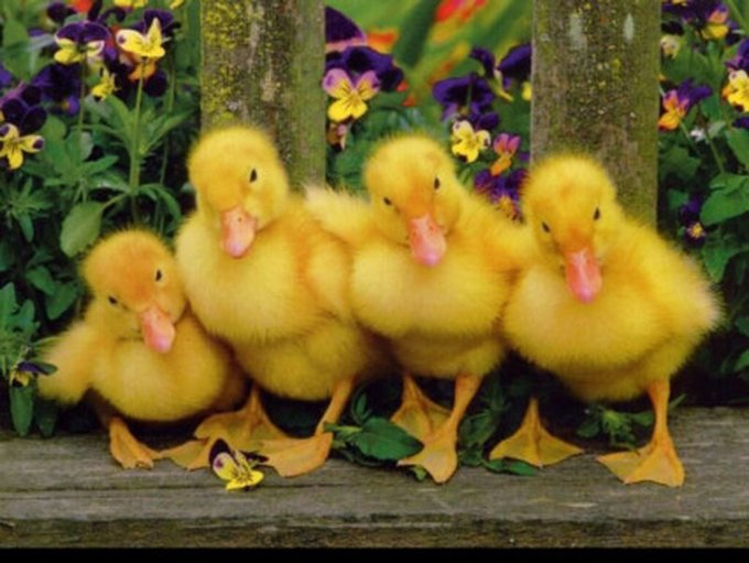 baby_ducks_wallpaper-normal