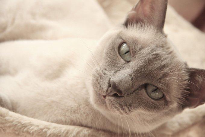5 races de chats parfaites pour les enfants