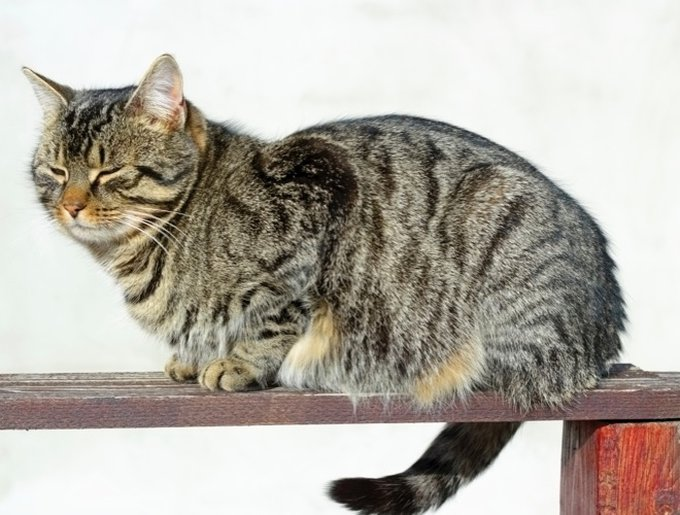 chats tigrés