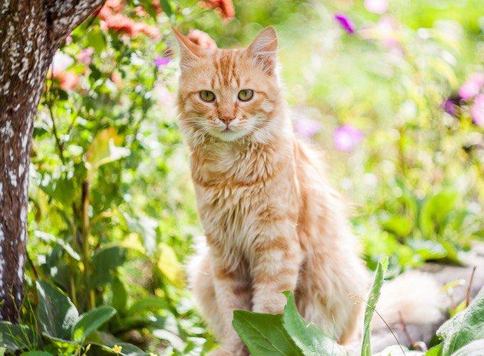 Chat roux dans un jardin