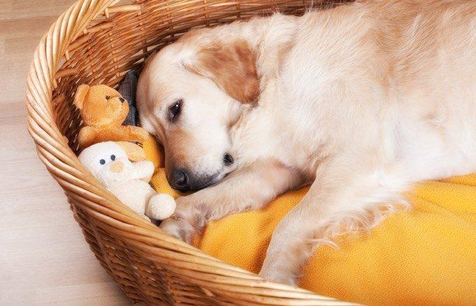Labrador au calme dans son panier