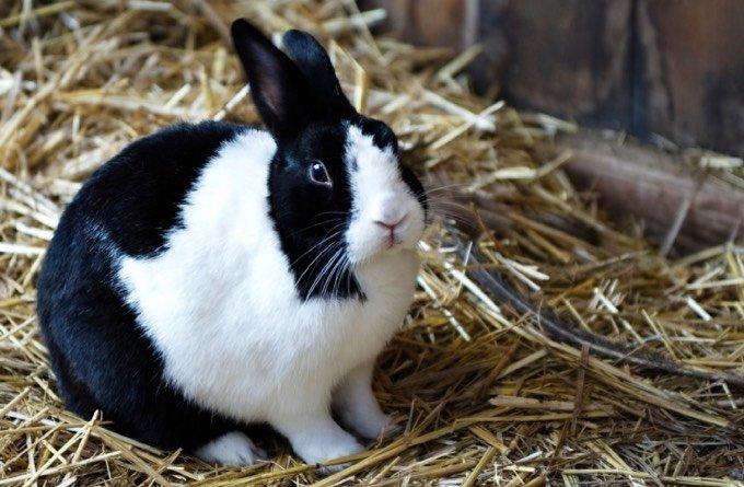 types de lapin noir et blanc avec les oreilles droites