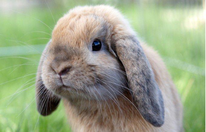 types de lapin beige avec les oreilles tombantes