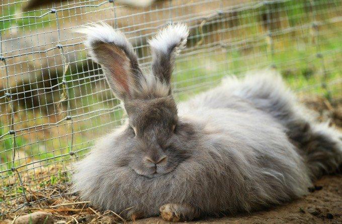 types de lapin gris