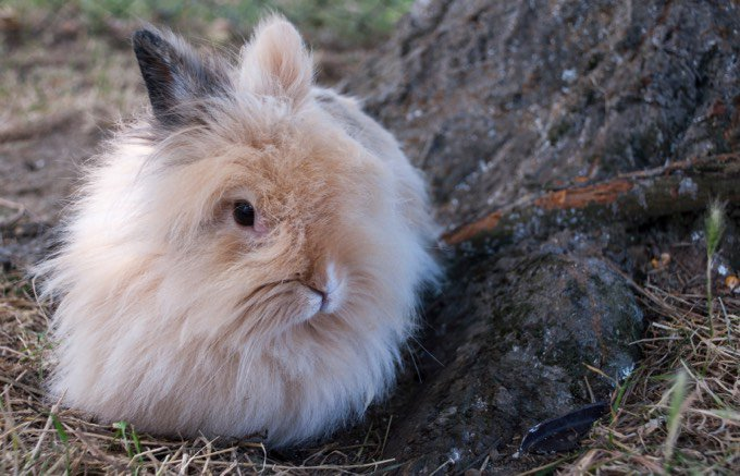 types de lapin roux poils mi-longs