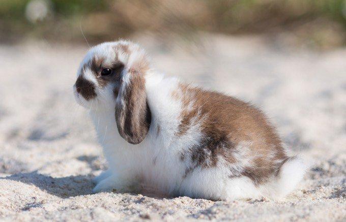 types de lapin marron et blanc poils normaux