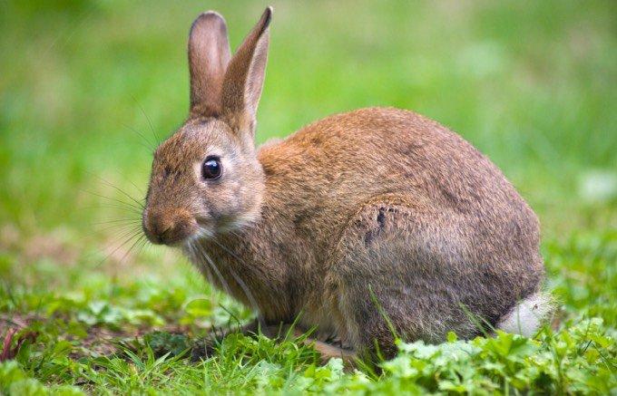 types de lapin poil très court