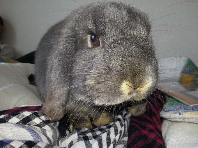 Rencontre avec Calie, un lapin Californain !