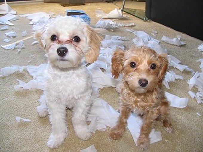 Le Top 20 des chiens destructeurs de maison !