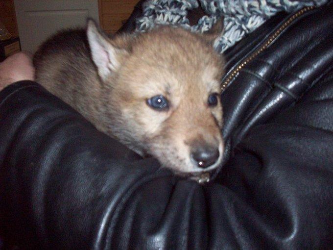Rencontre avec Faïca, une chienne ou une louve ?
