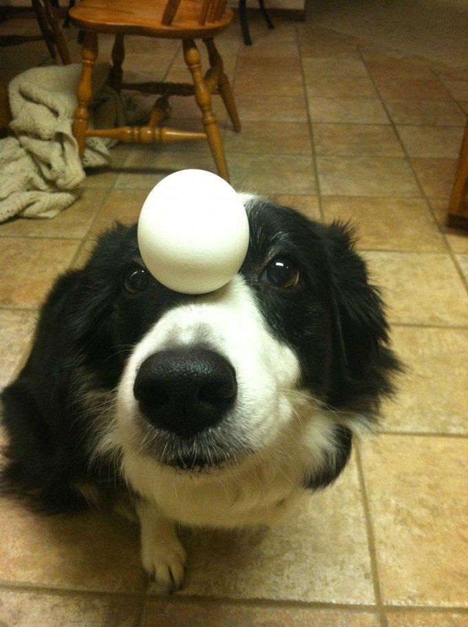 Connaissez vous Zelda ? Un chien équilibriste !