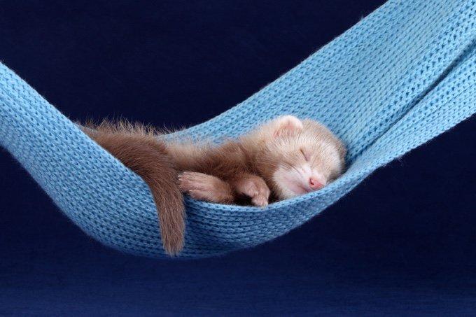 Furet endormi dans un hamac