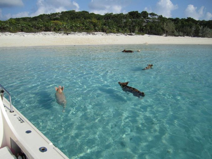 Have you heard of Pig Island? - Yummypets