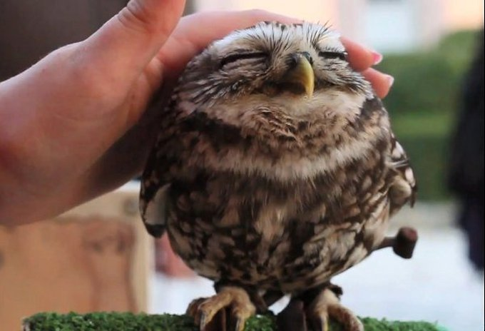 cutest-owl-in-the-world