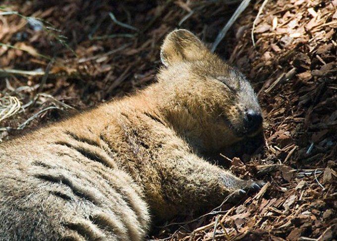 Le quokka : l'animal au sourire figé pour éveiller votre lundi !