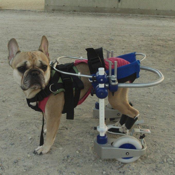 Le Kerdog, la solution pour les chiens paralysés