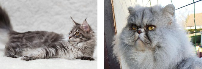 Maine coon et Persan