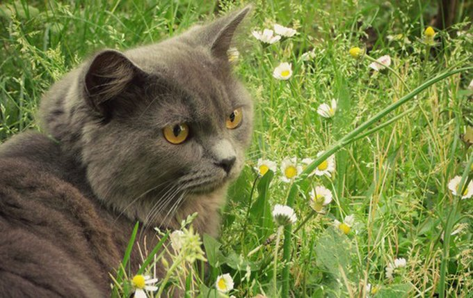 ymp_chat_chartreux_518a93f216d4a