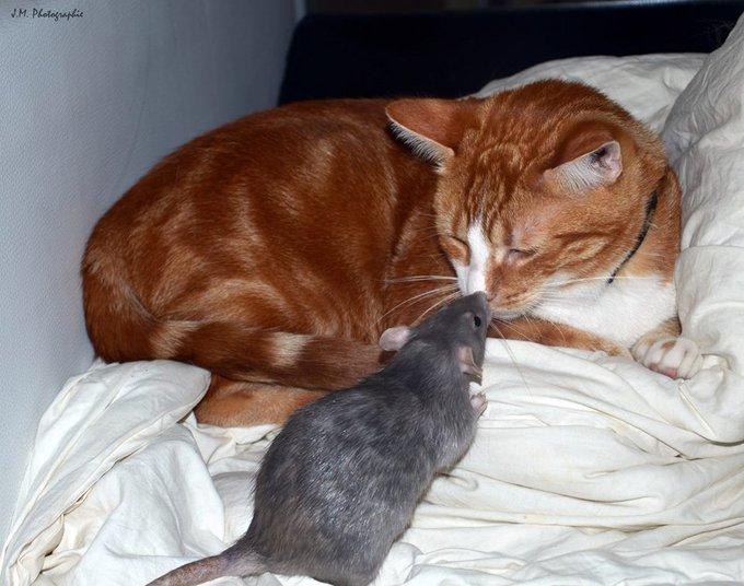 Rencontre avec Hikita, le plus beau des rats !