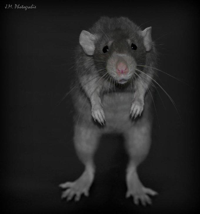 hikitaaRencontre avec Hikita, le plus beau des rats !