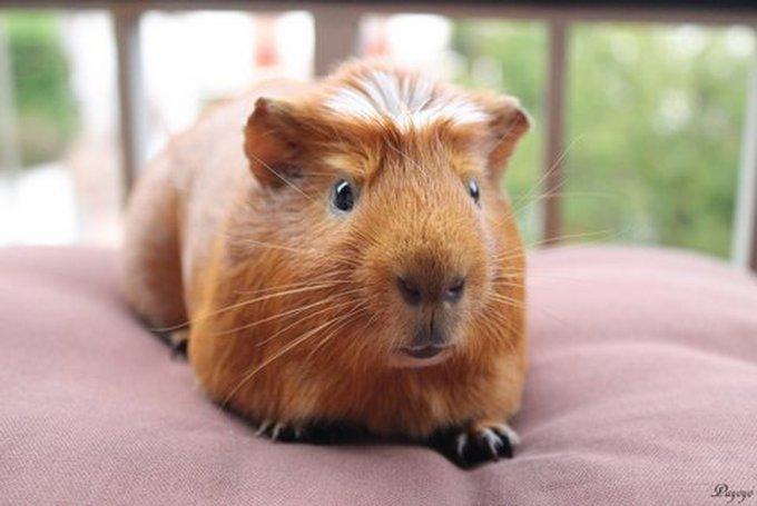 Rencontre avec Payoyo, un cochon d'Inde super beau