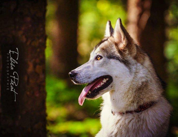 Rencontre avec Taïmir, un chien loup si tendre