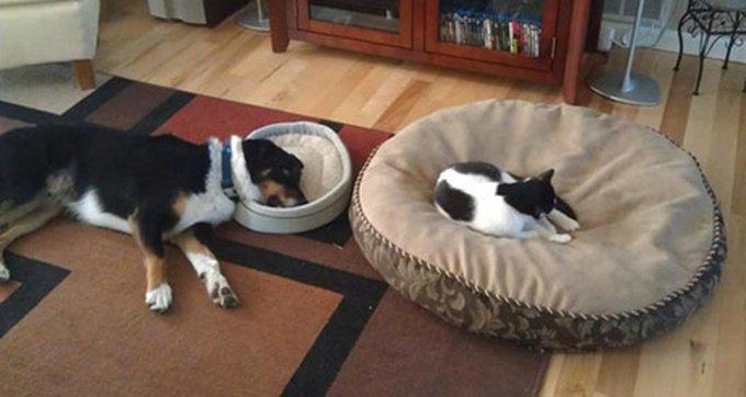 funny-dog-cat-big-bed-jerk