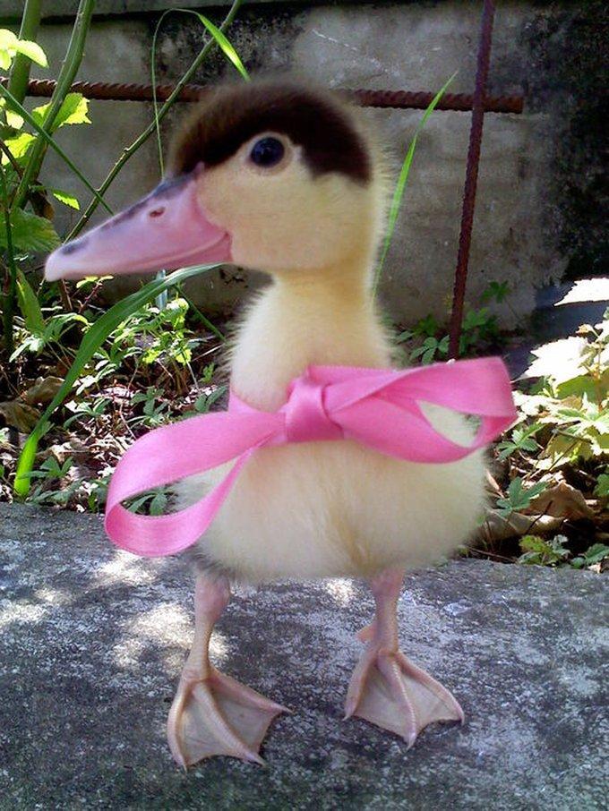 Rencontre avec Kaloo, un canard trop chou !