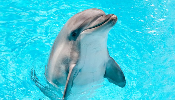 Dolphin peeking out of blue water