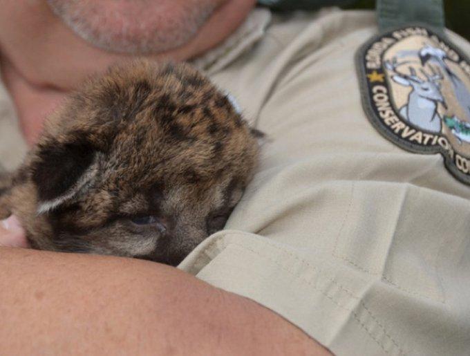 un bébé panthère dans les bras d'un garde