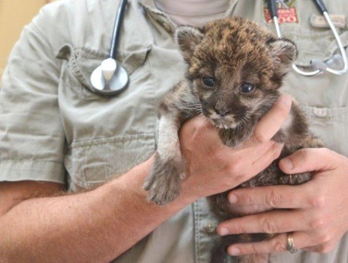 un bébé panthère dans les bras d'un soigneur