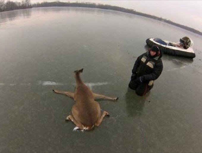 Une biche sauvé d'un lac glacé