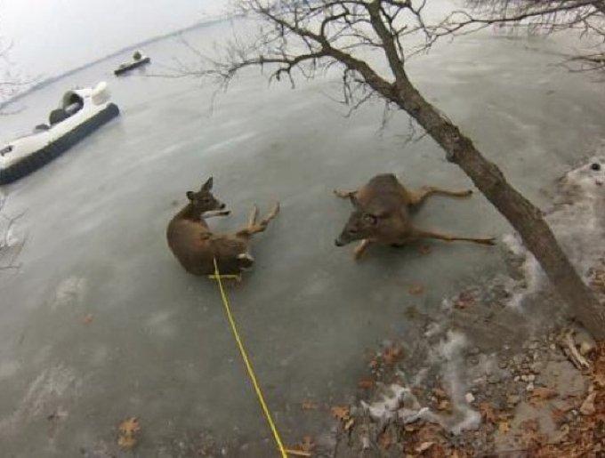 Des biches sauvés d'un lac glacé