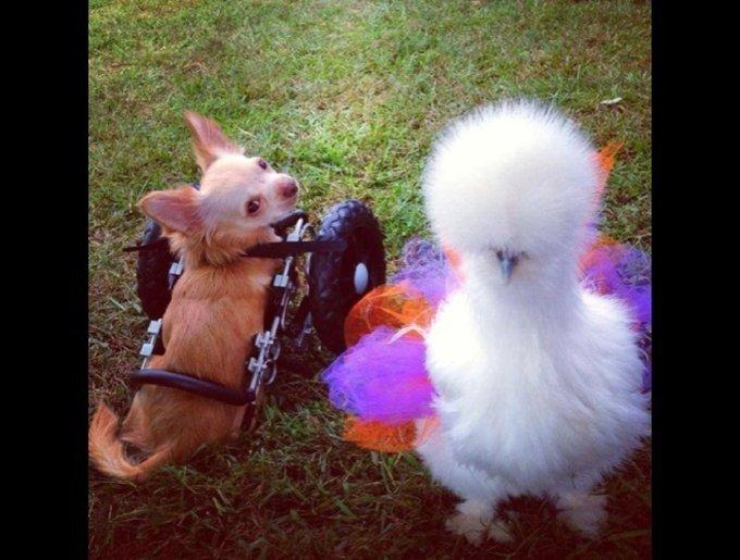 blog_yummypets_chihuahua_poule_2_02_2014