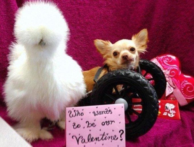 blog_yummypets_chihuahua_poule_3_02_2014