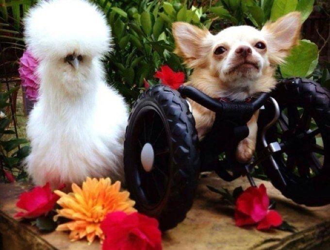 blog_yummypets_chihuahua_poule_6_02_2014
