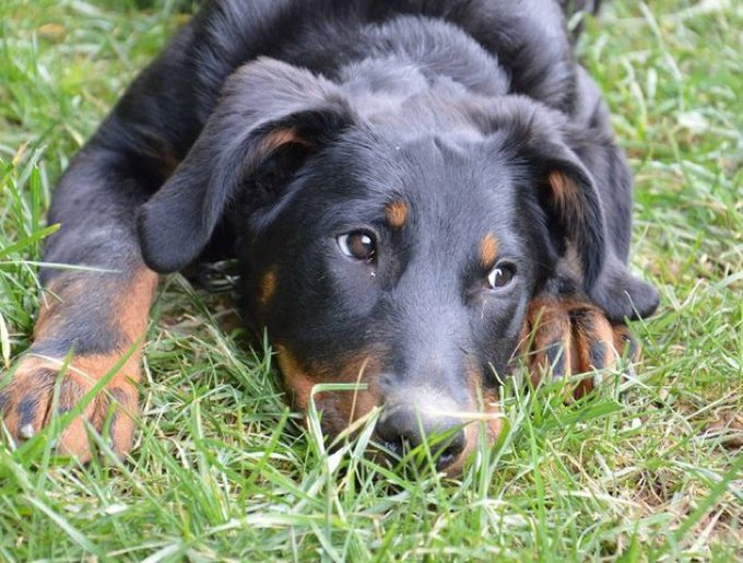 blog_yummypets_zoom_chien_beauceron_02_2014