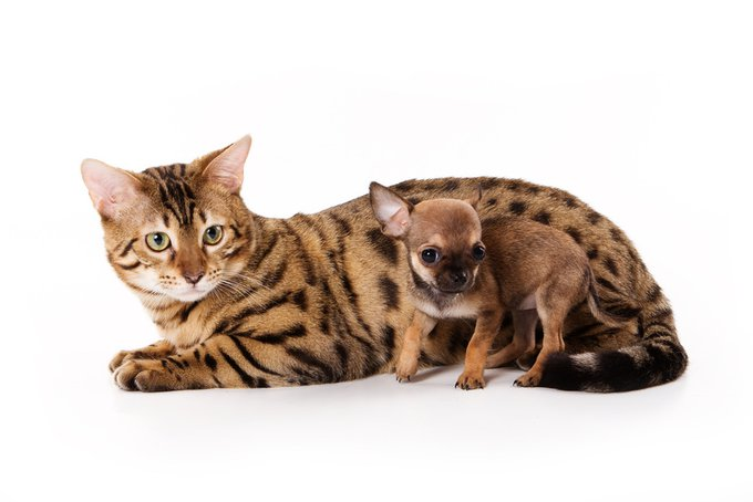 Bengal cat and chihuahua puppy