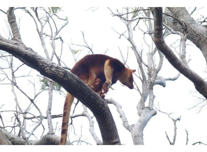 blog_yummypets_a _new_joey_the_tree_kangaroo_01_10_2015