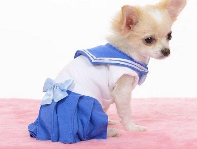 blog_yummypets_chihuahua_sailormoon_3_03_2014
