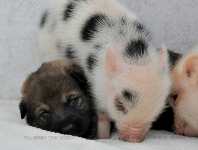 blog_yummypets_porc_chiot6_03_14