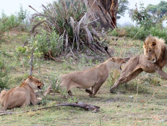 Amitié incroyable entre une lionne et un babouin