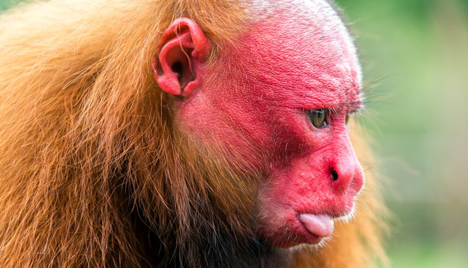 Closeup view of the face of a Bald Uakari monkey in the Amazon Rainforest near Iquitos, Peru