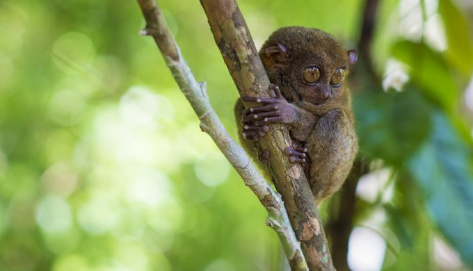 Tarsier - small primate with large eyes from the island of Bohol in the Philippines