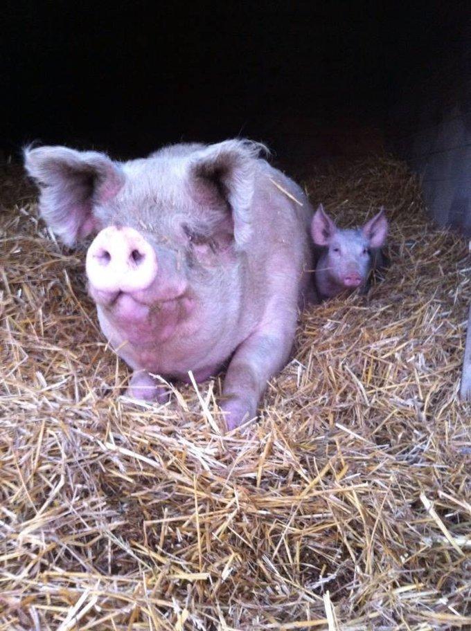 un cochon et son bébé de l'association groin groin