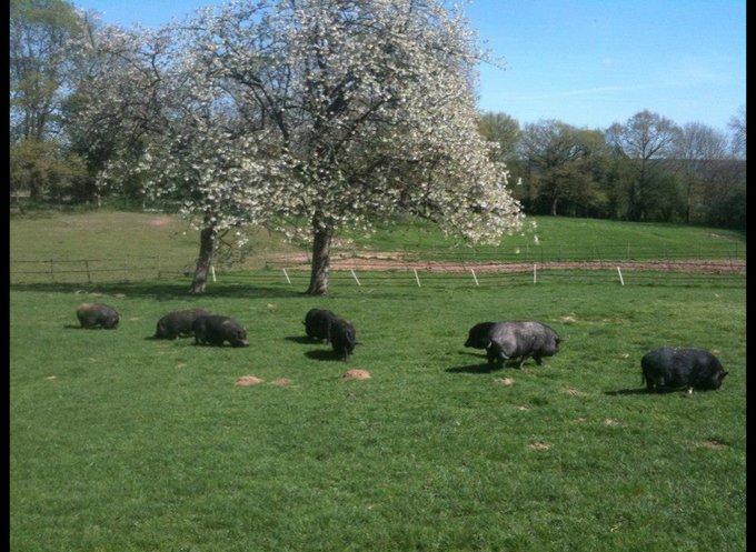 Les cochons de l'association Groin Groin