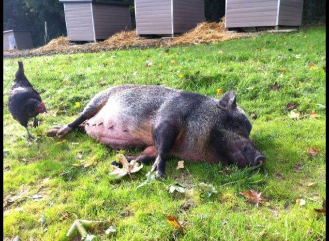 Gros cochon allongé de l'association Groin Groin